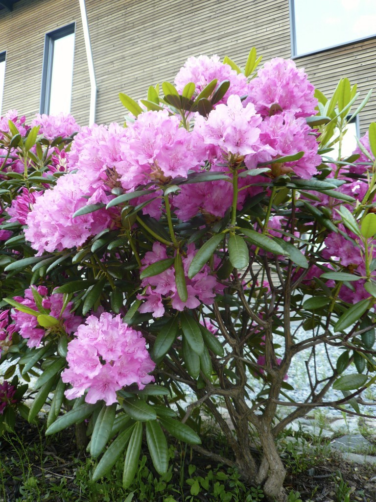 My rhododendrons